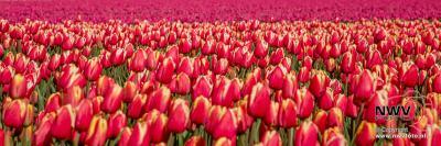 Tulpen in Flevo polder. - ©NWVFoto.nl
