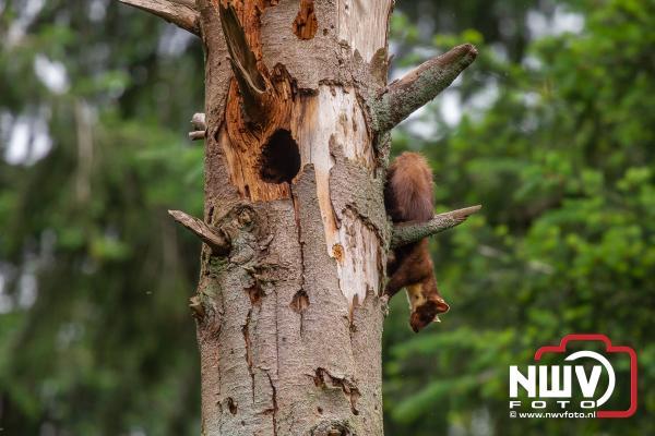 Zeldzaam: Boommarter voedt vier jongen op in de bossen van 't Harde - ©NWVFoto.nl