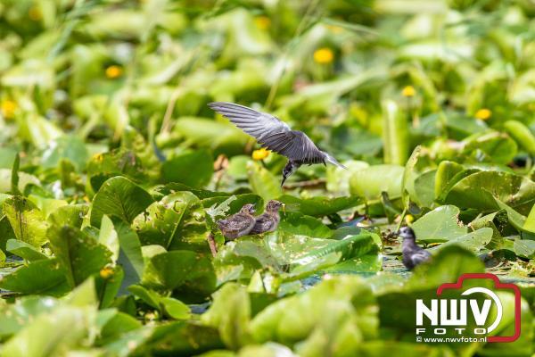 Zwarte Stern voedt kuikens - ©NWVFoto.nl